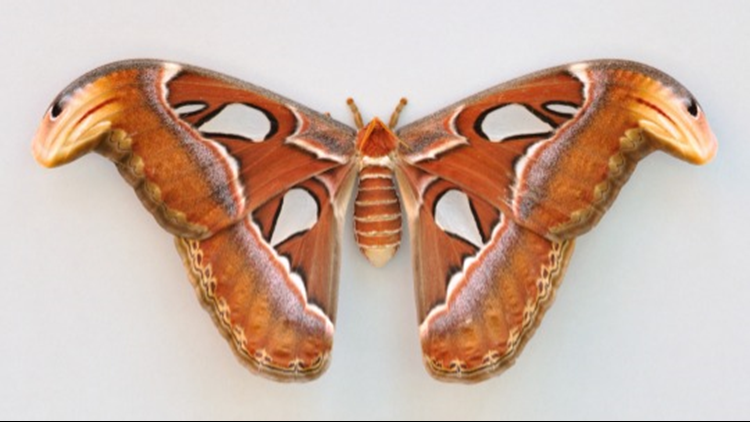 Check Out The Cobra Design on This Moth That it Uses to Scare of Predators
