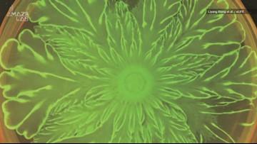 Watch Bacteria Create a Stunning Microscopic Flower Pattern
