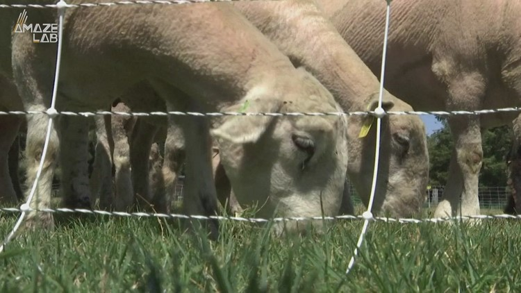Researchers Recruit Sheep Instead of Lawn Mowers