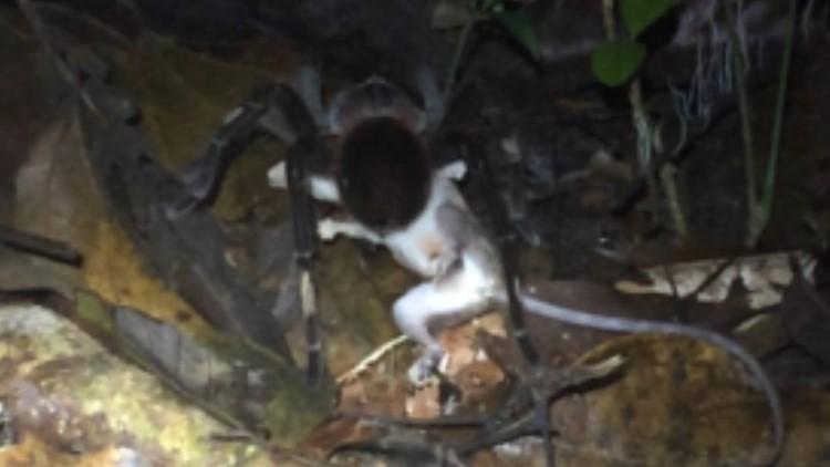spider kills opossum