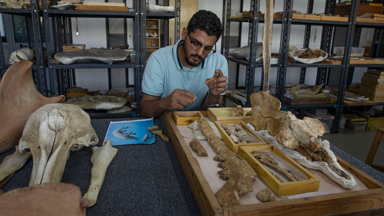 Egypt team identifies fossil of land-roaming whale species