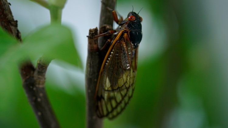 Trillions of cicadas about to emerge: What you need to know about Brood X