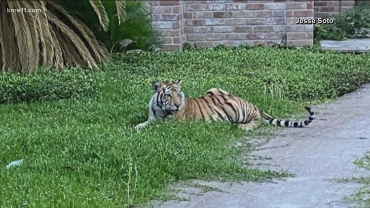 Tigers in Texas: Explaining state laws on owning dangerous animals