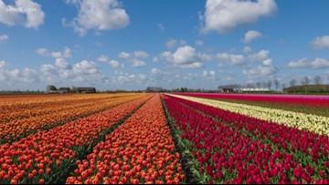 San Antonio area tulip field will open this week