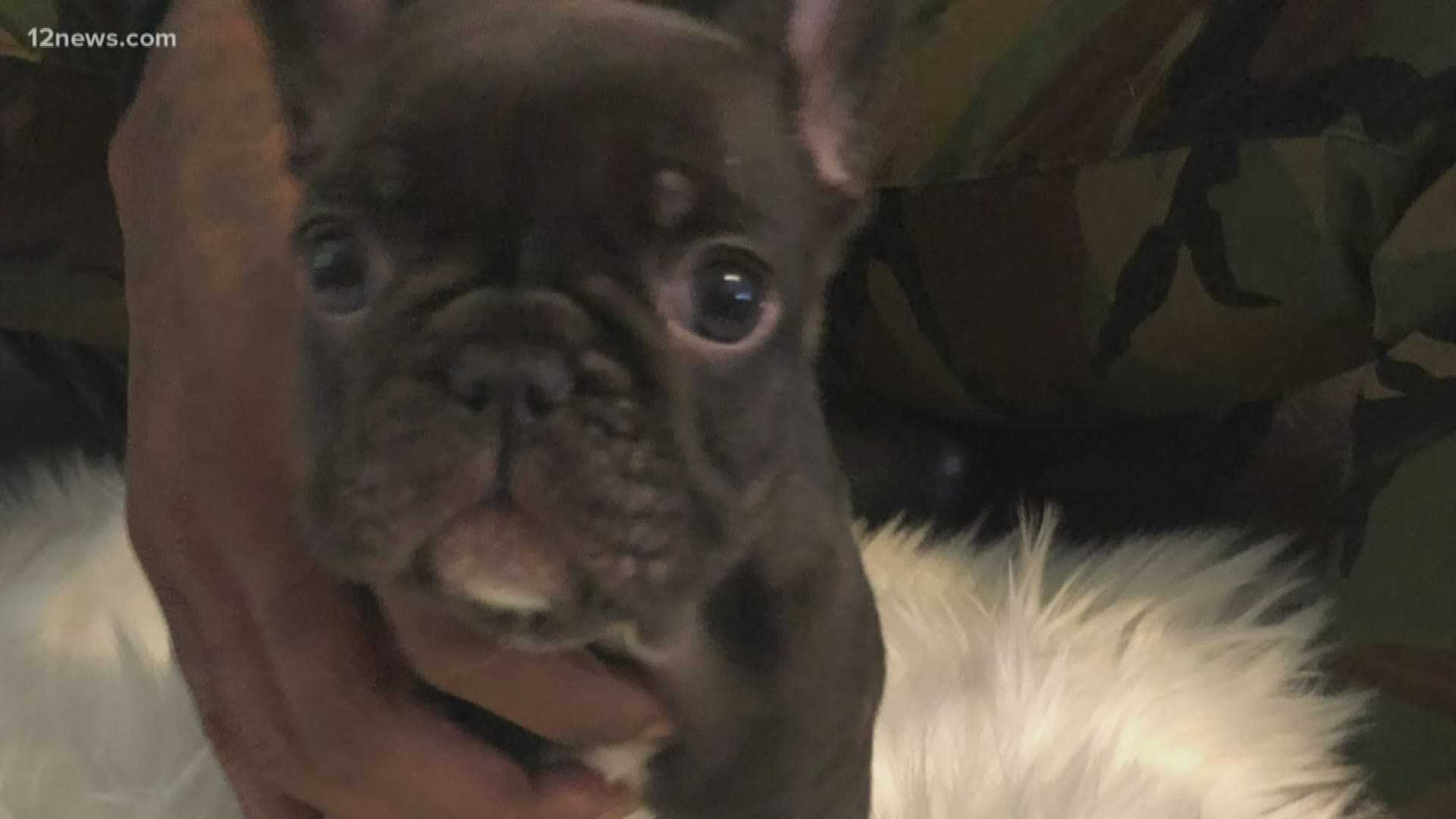 Woman Accused Of Speeding Off With 3 500 French Bulldog Puppy Kvue Com