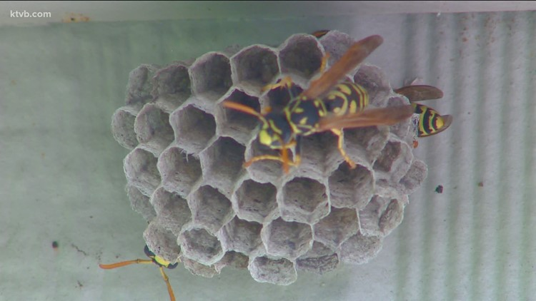You Can Grow It: Controlling wasps, hornets and honeybees