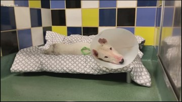 Williamson County dog still recovering after abuse