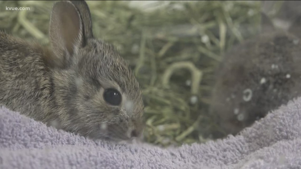 Look out for baby rabbit nests in your yard