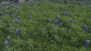 How to harvest bluebonnet seeds and when to pull up your plants