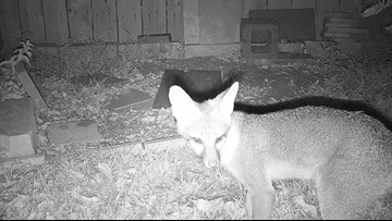 North Austin resident worried about increase of foxes in neighborhood