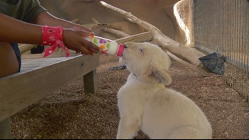 RAW: Bottle-feeding lion cubs at Snake Farm Zoo