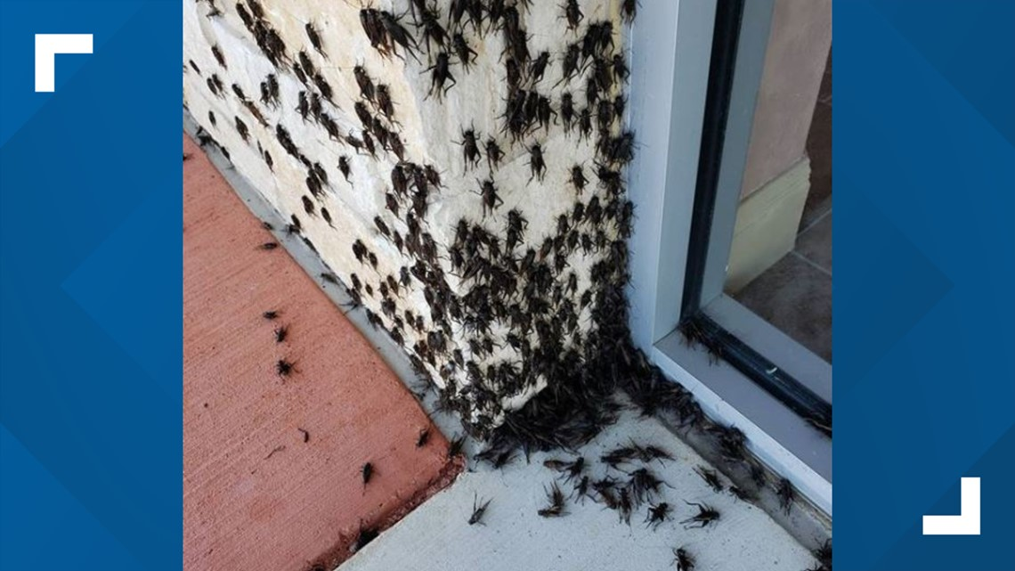 Austin Gas Prices >> Texas cricket infestation: Austinites not impressed by bug ...
