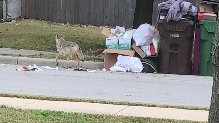 Coyote leaving trash pile in front of a property in the Teravista neighborhood.