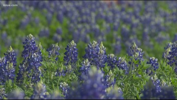 Here's how to plant bluebonnets at home