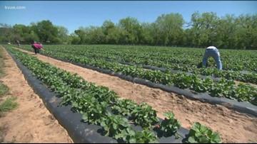 Sweet Berry Farms hitting its peak