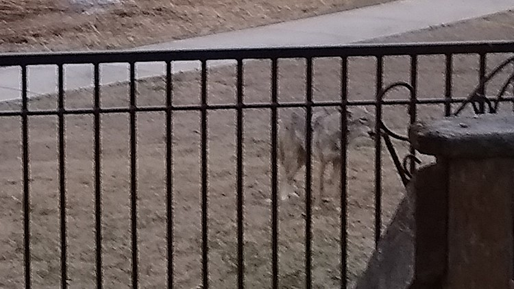 Coyote spotted in the Teravista neighborhood.