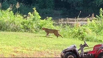 Bobcat spotted in Round Rock neighborhood