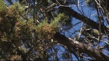 Headaches? Drowsy? Sneezing? Cedar season arrives in Austin and social media reacts