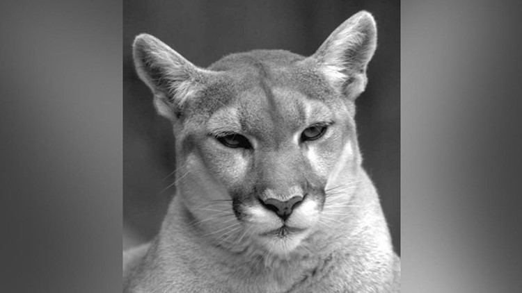 Officials are warning residents to stay away from drainage areas and culverts after there were two mountain lion sightings reported in San Marcos.