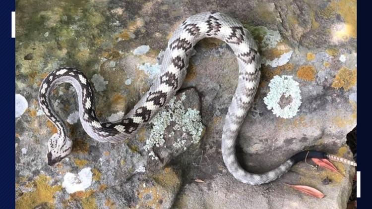 Rare Eastern Black Tailed Rattlesnake Spotted In Jonestown Kvue Com
