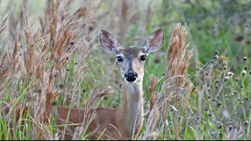 An en'deer'ing occasion: Austin Wildlife Rescue to release 20 rehabilitated deer back into the wild