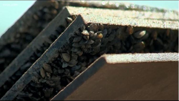 zebra mussels lake austin_1533953363153.JPG.jpg