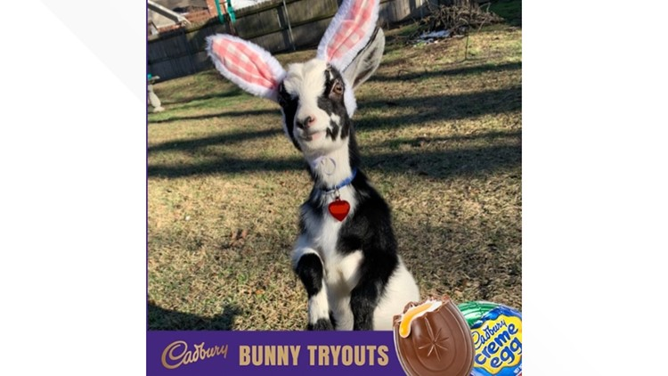 A Georgetown goat named Dog is in the running to become Cadbury's next Easter bunny