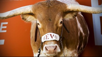 The University of Texas at Austin celebrates 102 years of Bevo
