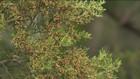Cedar season in Central Texas is nearing its end