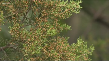 Cedar season in Central Texas is nearing its end