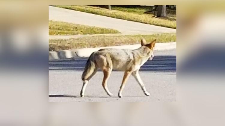 Coyote in Williamson County