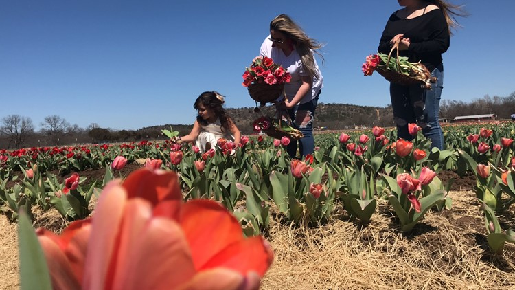 Sweet Berry Farm opens for tulip picking