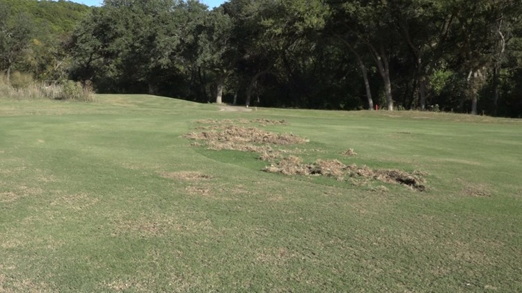 Damage possibly from feral hogs on the golf course at Great Hills Country Club.