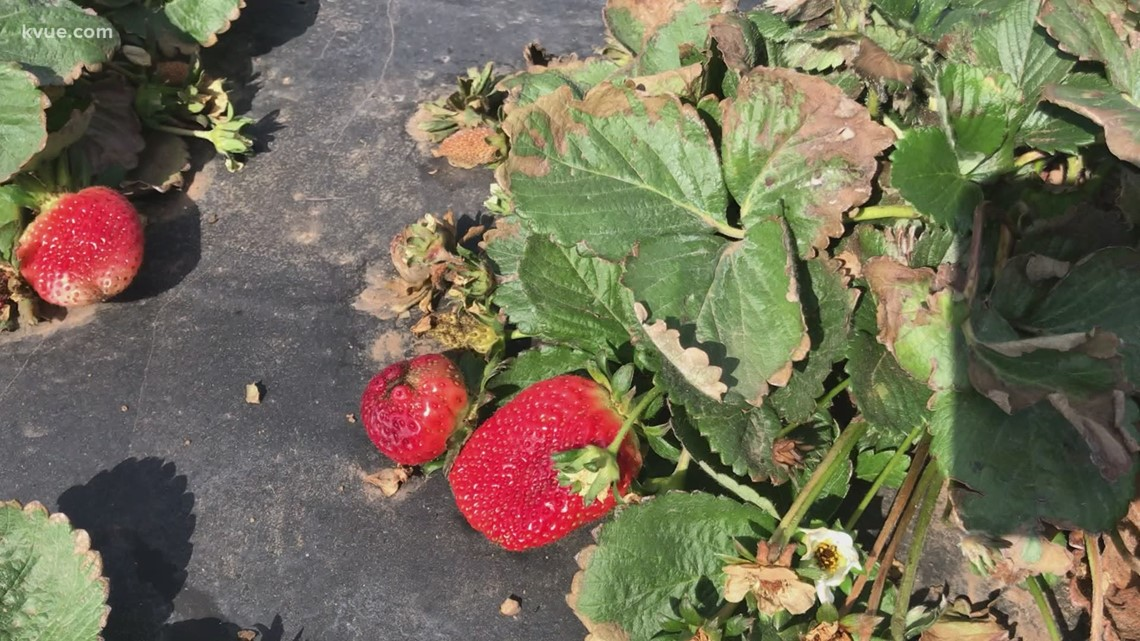 Central Texas farmers seeing impact from winter storms