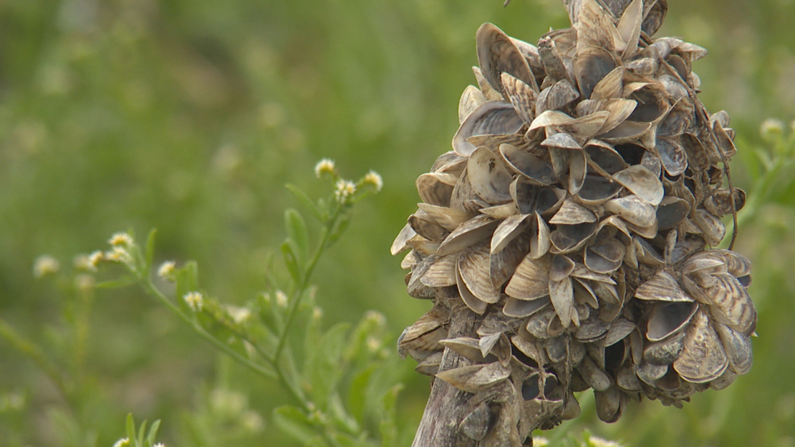Dead zebra mussels pose harm for Lake Travis visitors