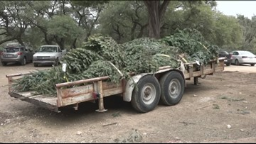 Austin Zoo recycling Christmas trees for its animals