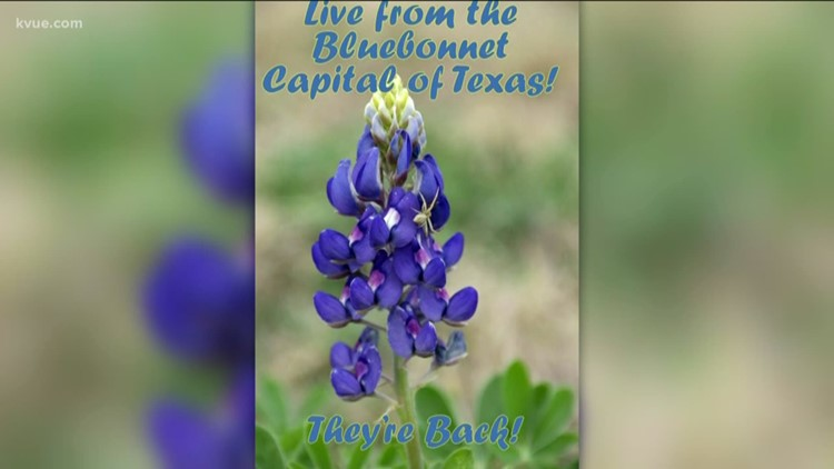 2019's first bluebonnets popping up in Central Texas