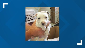 2.5-pound puppy stolen from Bastrop County Animal Shelter