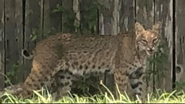 Bobcat spotted in Round Rock, Pflugerville neighborhoods