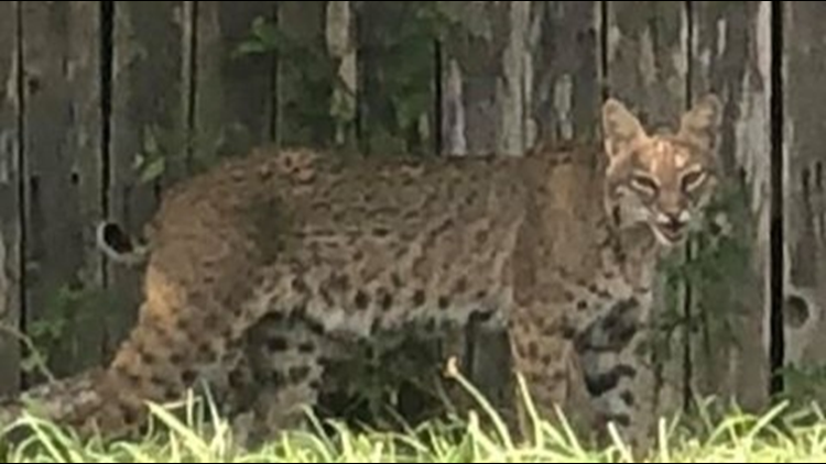 Bobcat spotted in Round Rock, Pflugerville neighborhoods