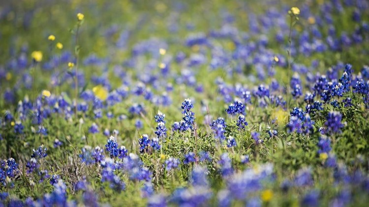 Despite winter storms, Central Texas wildflower season is still on track