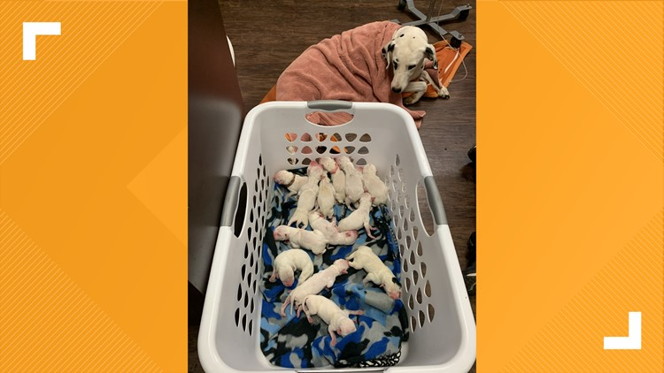'There were puppies everywhere' | Dalmatian gives birth to 16 puppies in Fredericksburg