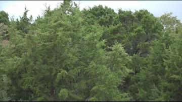 Wet and cold weather brews bad cedar allergies