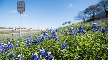 Wildflower forecast: Experts say it's another early year for blooms in Central Texas