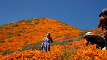 Tens of thousands converge on California 'poppy apocalypse'