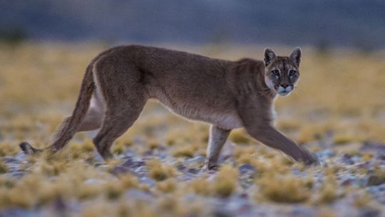 Large predators such as mountain lions are being found in places they haven't been seen before. (Photo: Brian Silliman, Duke University)