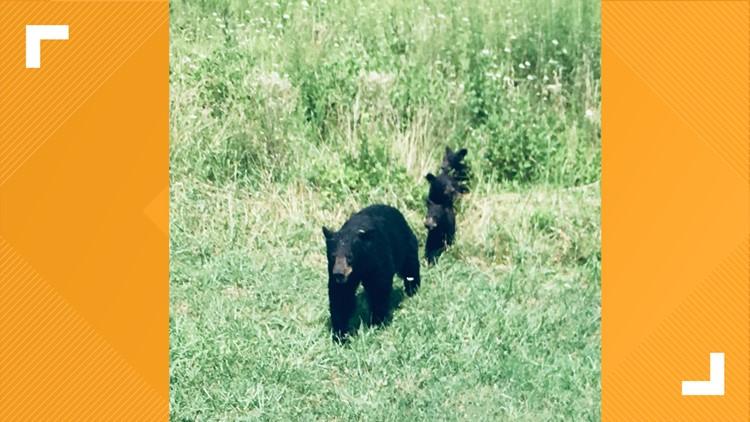 Black bears cross the road at Cades Cove