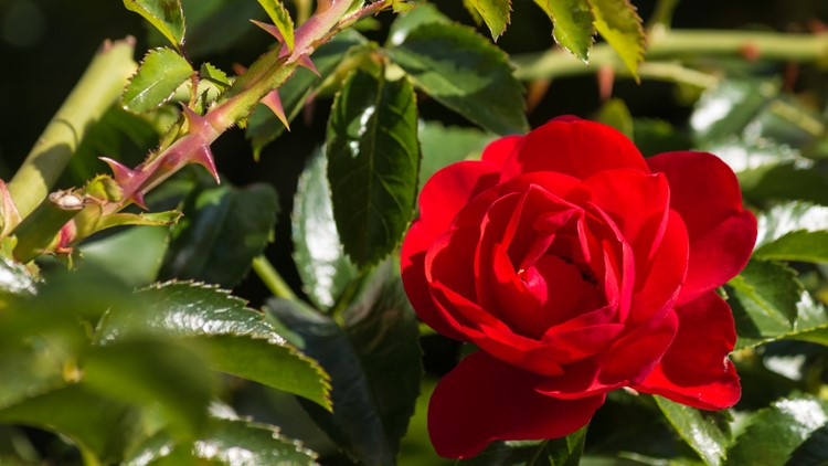 LIST: Austin florists offering Valentine's Day specials