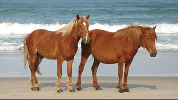 Outer Banks' wild horses know how to survive a hurricane