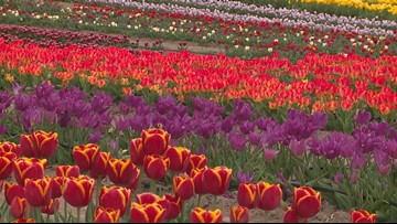 New tulip farm in Waxahachie and the beautiful purpose behind it